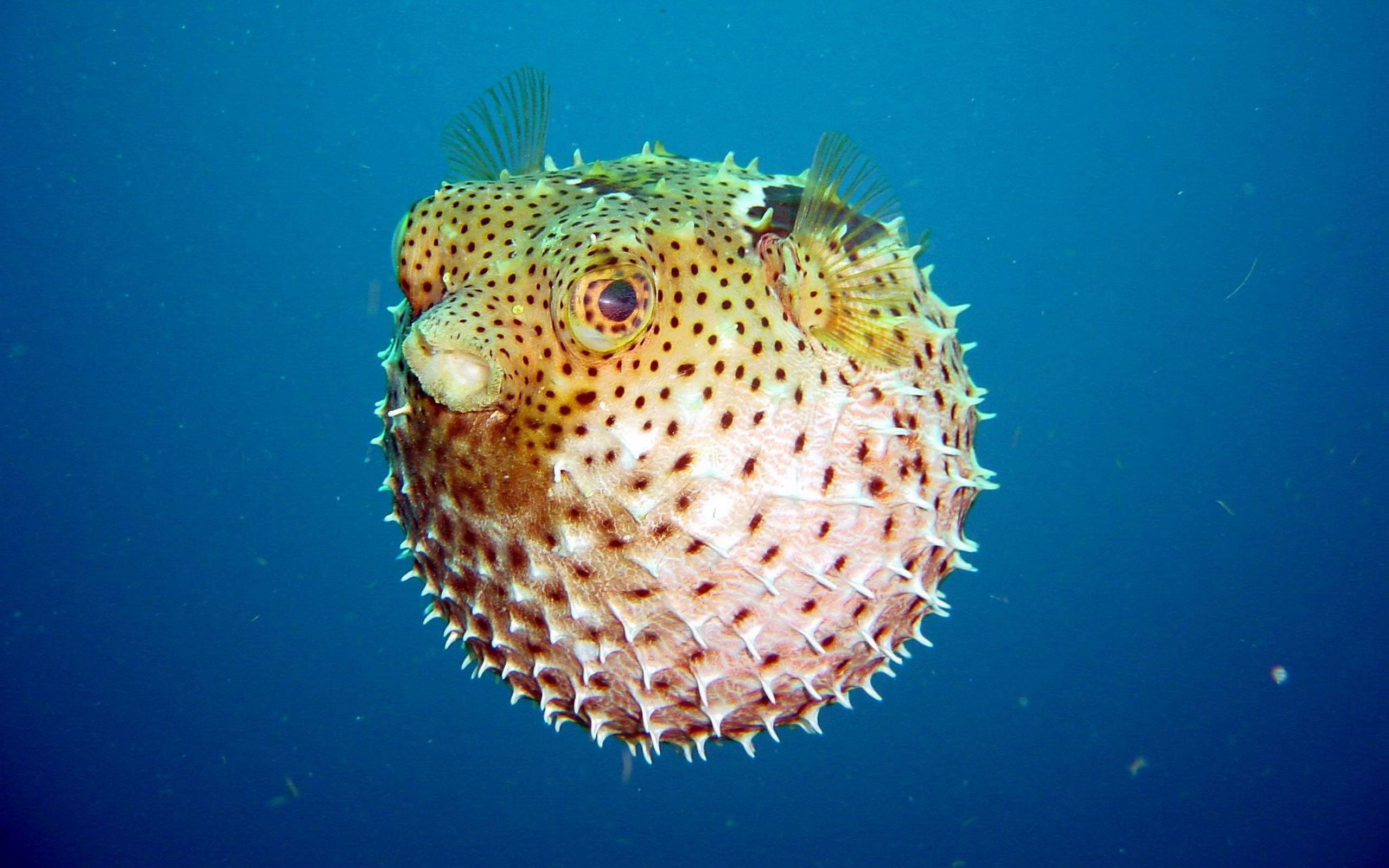 Top 10 food and drinks banned in the usa terrific top 10 for Types of puffer fish