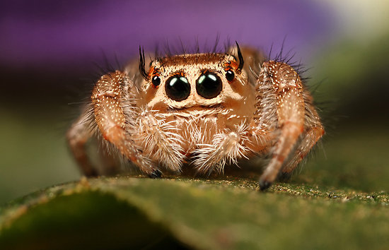 Cute jumping spider - photo#25