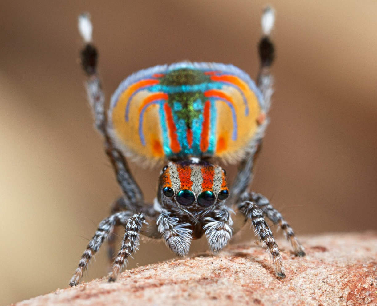 Peacock jumping spiders - photo#5
